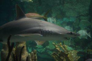 Shedd Aquarium Chicago Illinois Shark