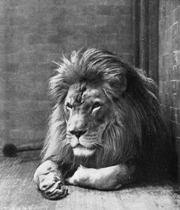 Sultan_the_Barbary_Lion